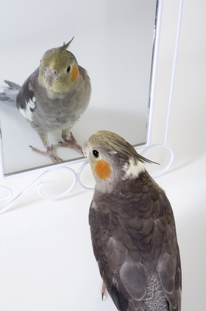 narcissism: A cute cockatiel admires himself in a mirror. Stock Photo