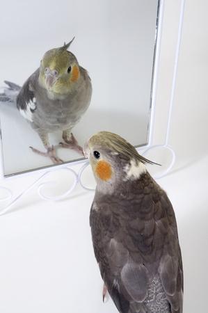 admires: A cute cockatiel admires himself in a mirror. Stock Photo