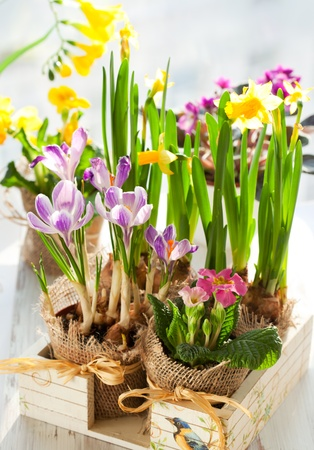 Colorful spring flowers in pots in a wooden box .Narcissus,primula,crocus,freesia, violet photo