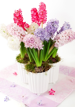 Mixed hyacinths in flowerpots photo