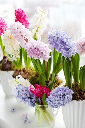 plant pot: Hyacinths in flowerpots on a window sill Stock Photo