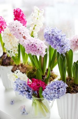 arreglo floral: Jacintos en macetas en un alf�izar de la ventana