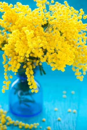 yellow mimosa on the blue background photo