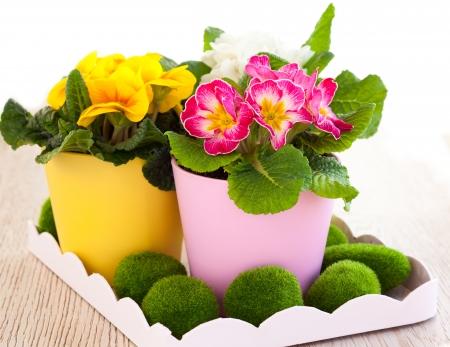 primulas: spring flowers in pots