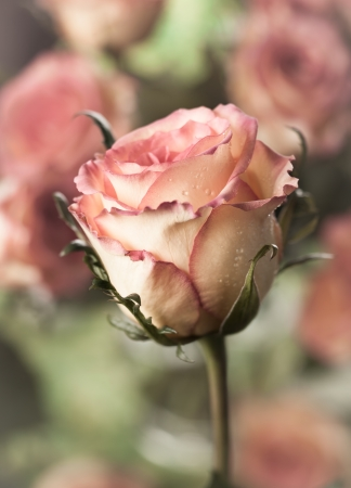 Vintage rose with water drops photo