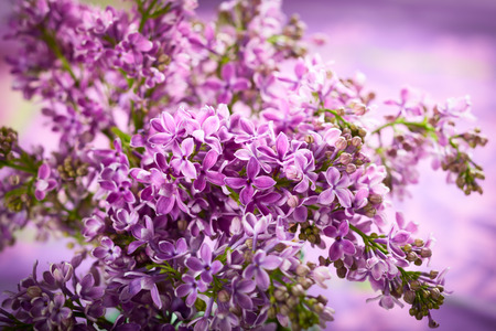 Beautiful lilac with violet flowers photo
