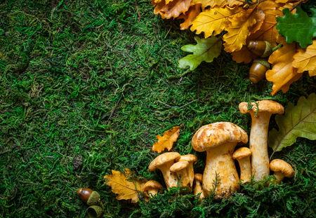 chanterelle: Fresh mushrooms with  leaves on mossy background Stock Photo