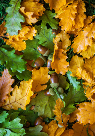 Autumn background with oak leaves and acorns