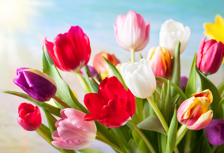 red tulip: Spring background with colorful tulips Stock Photo