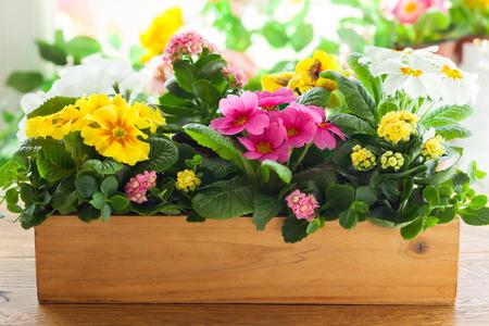 木製植木鉢に新鮮なカラフルなプリムラ 写真素材