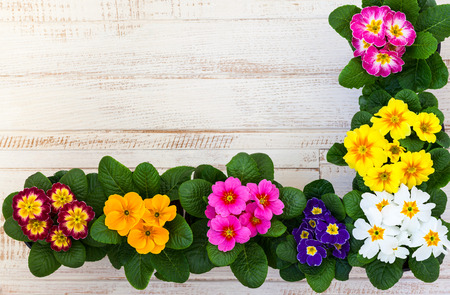 primula: Fresh colorful primula flowers in pots on wooden background. Top view