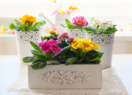 flower in pot: Fresh colorful primula flowers in pots Stock Photo