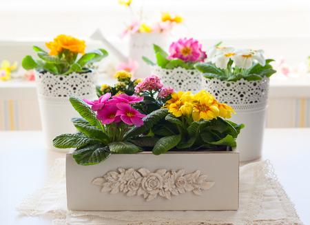 Fresh colorful primula flowers in pots Foto de archivo
