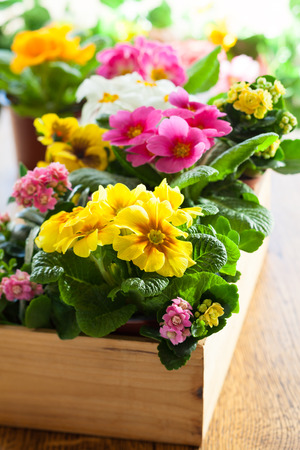 Potted plants: Fresh colorful primula in wooden flower pot