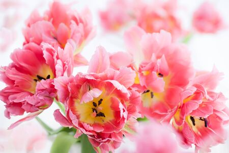 paschal: Background of beautiful pink double peony tulip