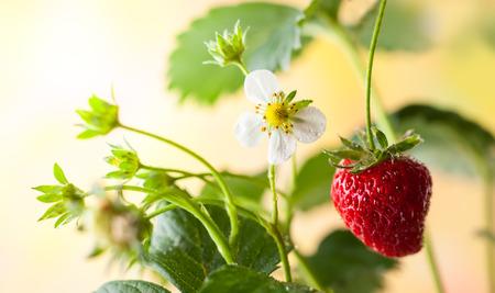 fresh leaf: Fresh strawberry with flower and leaf Stock Photo