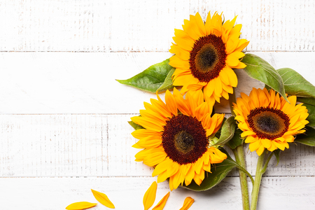 Beautiful yellow sunflowers with leaves on the white wooden background. Top view with copy space.