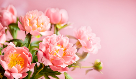 Fresh pink peony flowers close up on pink background banner.