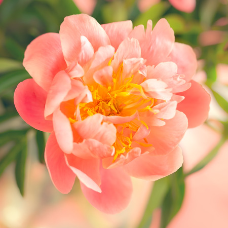 Fresh coral peony flowers close up . Soft focus.