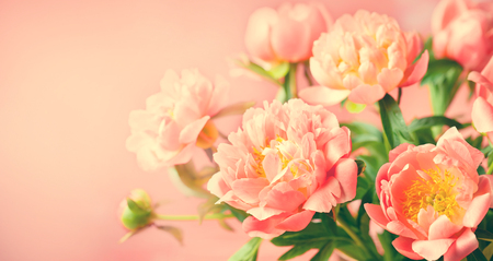 Fresh  peony flowers close up on coral background banner.