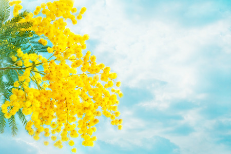 Mimosa flowers with leaves on sky