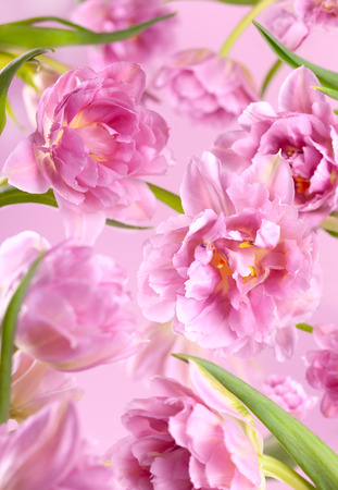 Pink peony flowers on pink background.