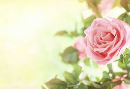 Beautiful pink roses flowers in summer garden. Spring or summer floral background.
