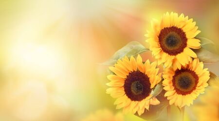 Beautiful yellow sunflowers with leaves on blurred gold background in sunlight outdoors in nature. Flowers concept  with copy space.