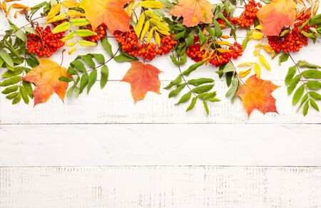 Autumn concept wth leaves and  rowan berries on a white rustic background. Festive autumn decor, flat lay with copy space.