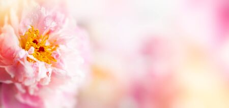 Beautiful peony flowers close-up, macro photography, soft focus. Spring or summer floral background. 版權商用圖片