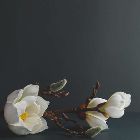 Minimal still life with branch of white magnolia on dark background. Festive floral greeting card. Trendy nature concept.