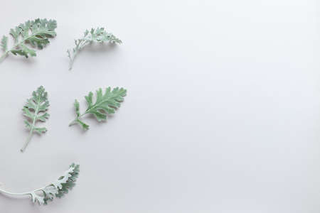 Silver-green leaves of Senecio cineraria on pastel gray background. Natural plants composition with copy space, flat lay
