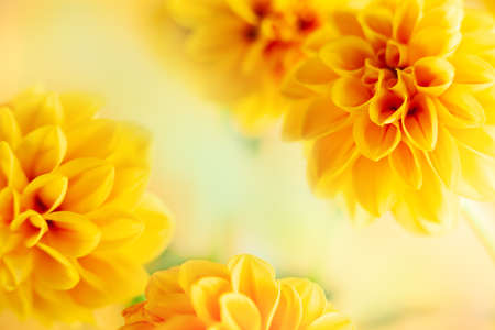 Autumn floral composition made of fresh yellow dahlia on light pastel background. Festive flower concept with copy space. Soft focus, macro