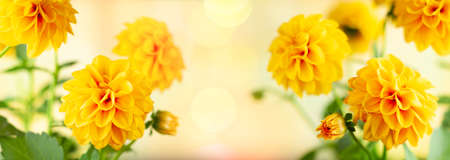 Autumn floral composition made of fresh yellow dahlia on light pastel background. Festive flower concept with copy space.