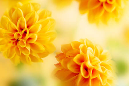 Autumn floral composition made of fresh yellow dahlia on light pastel background. Festive flower concept with copy space. Soft focus