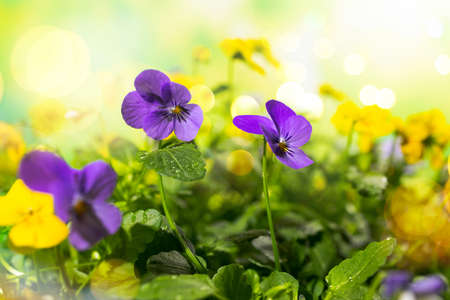 Flowering purple and yellow pansies in the garden. 免版税图像