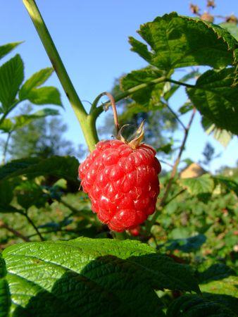 thorn bush: raspberry on a branch  Stock Photo