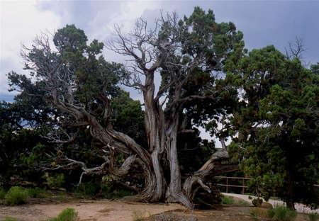 Tree, desert, Arizona