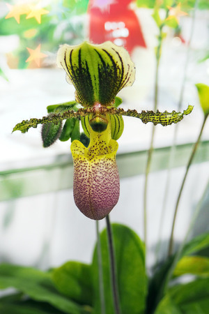 Ladys slipper orchid. Paphiopedilum Callosum in natural background, Paphiopedilum stonei x moquetianum, orchid. Orchidaceae family - Thailand, Stock Photo