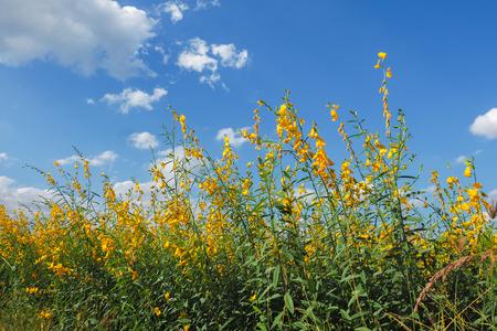 Yellow Sunhemp flower field with blue sky background