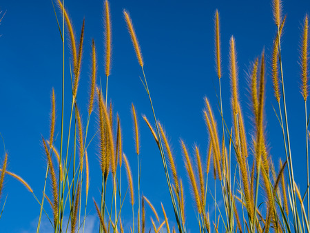 Grass flowers with blue sky On a clear day Stock Photo