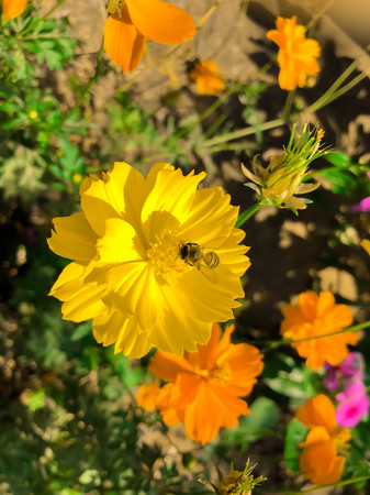 bee on the cosmos flower. Stock Photo