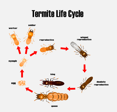 termite life cycle,cartoon style,vector.  イラスト・ベクター素材