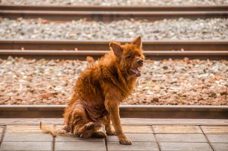 leprosy asian dog, animal sick leprosy skin problem at train station,Abandoned concept.