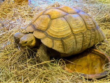 Close up of Feeding turtle with Dry straw Stock fotó