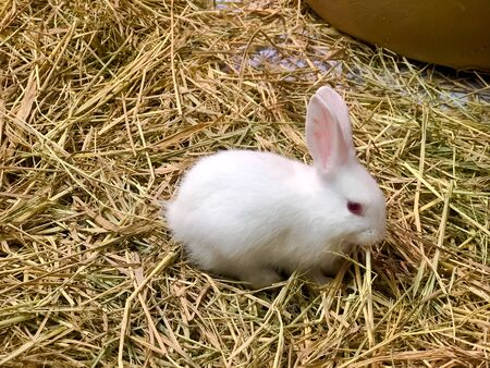 Little White rabbit with dry straw background.