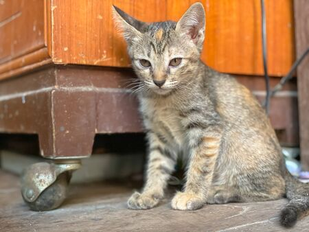 Cute Asian kitten or cat standing front of house Stock fotó