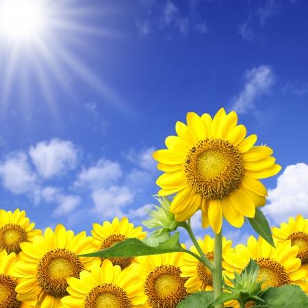 girasol: Sol de verano sobre el campo de girasol