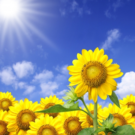 blooming: Summer sun over the sunflower field