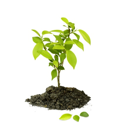 crecimiento planta: Plantas de semillero verde sobre fondo blanco.